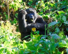 5-Day Rwanda Gorilla and Chimpanzee Safari Tour