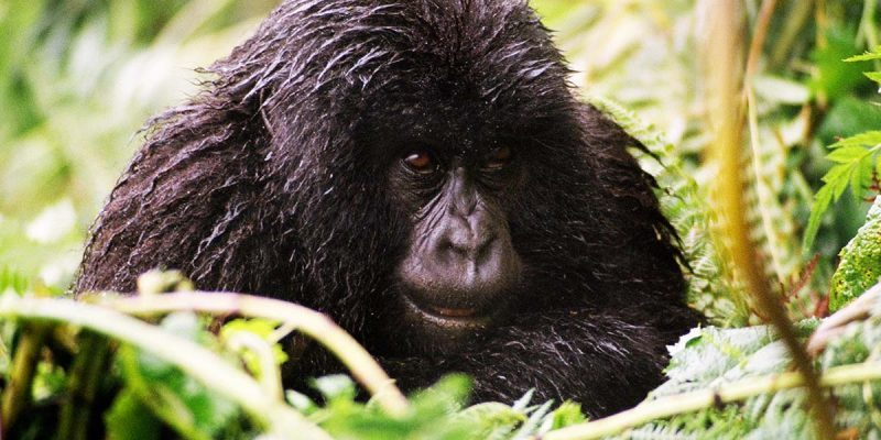 7 Days Rwanda Safari - Chimpanzee and Gorillas Safari