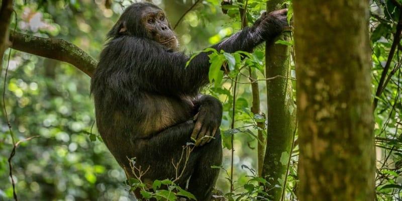 6 Days Gorilla Chimpanzee safari Rwanda
