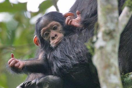 nyungwe_chimps