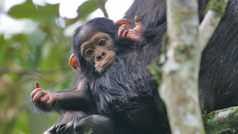 3 Days Chimpanzee Trekking in Nyungwe Forest